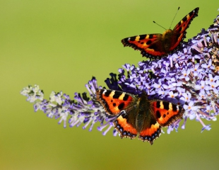 Butterflies-at-Balblair