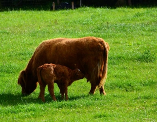 Highland-Cow-and-calf